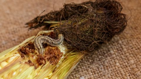 The canned sweet corn we love is allowed to have two or more larvae of the corn ear worm, along with larvae fragments and the skins the worms discard as they grow.