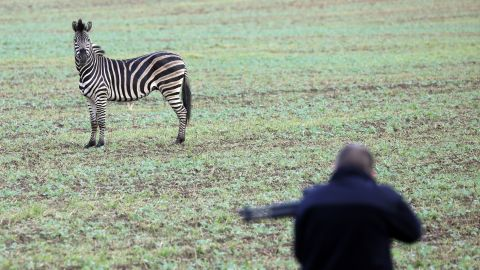 A zebra on a meadow as a man with a tranquilizer gun tries to approach it on October 2, 2019 near the German town of Thelkow.