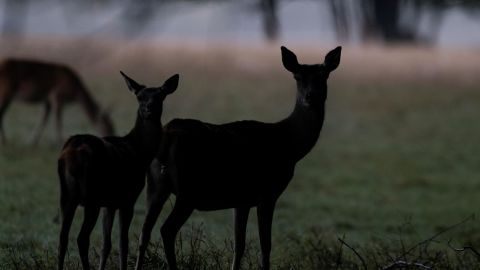Deer are pictured at the Domaine des Grottes de Han in Han-sur-Lesse, Belgium, on October 3, 2019. (Photo by Kenzo TRIBOUILLARD / AFP) (Photo by KENZO TRIBOUILLARD/AFP via Getty Images)