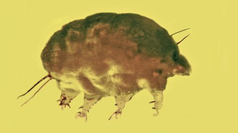 Mold pigs are a newly discovered family, genus and species of microinvertebrates that lived 30 million years ago.