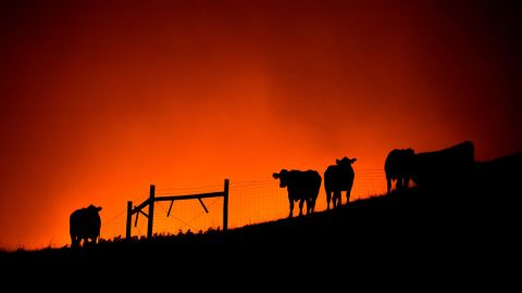 Cows stand on a ridge as the Kincade Fire approaches in Sonoma County.
