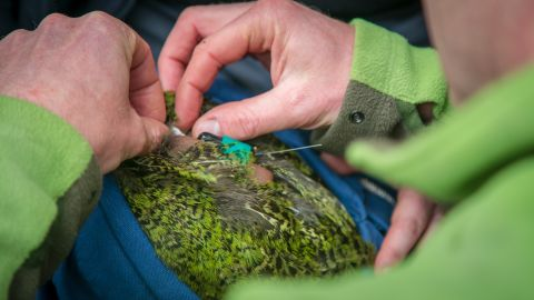 Andrew Digby adds a GPS logger to a kakapo's radio transmitter, which will record where the bird goes.