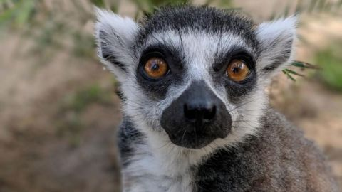 Isaac, a 33-year-old ring-tailed lemur, was stolen from the Santa Ana Zoo in 2018.