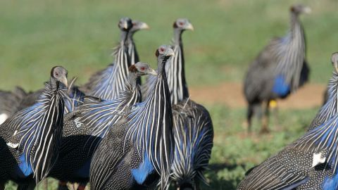 Vulturine guineafowl move in highly cohesive groups. This cohesion allows them to coordinate their actions as they move together through the landscape, and therefore maintain stable group membership over extensive periods of time.