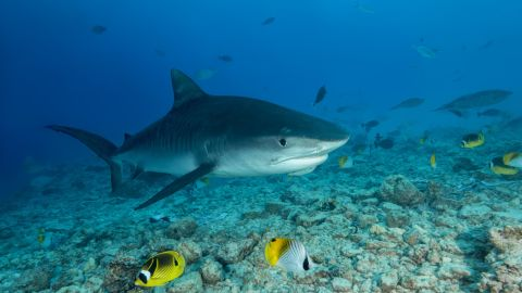 A Tiger Shark swims over coral reef in Fuvahmulah, Maldives. After millions of years of adaptations, more than 500 species of sharks swim the planet's oceans today, and sharks are found in almost every type of ocean habitat.