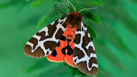 garden tiger moth or great tiger moth Butterfly, night butterfly