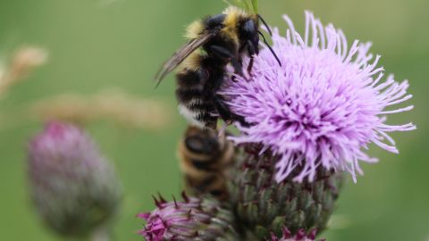 Bombus sylvarum, the shrill carder bee or knapweed carder bee, collecting nectar from a flower.