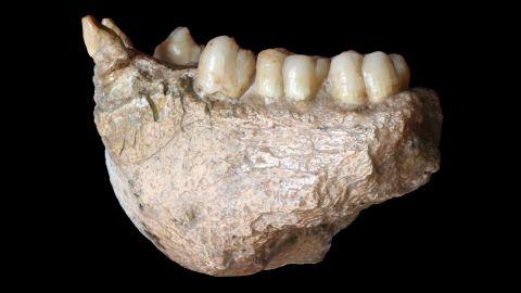 A jawbone belonging to the Gigantopithecus blacki, an extinct primate.