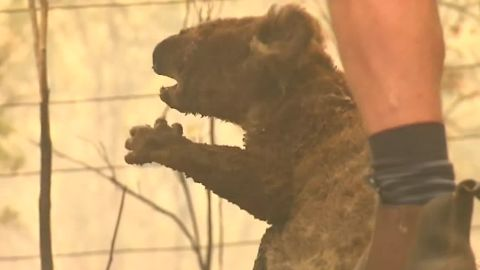 Footage shows Lewis the koala with his fur on fire, frightened and scrambling up a tree.