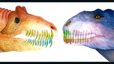 This illustration compares the jaws and teeth of two predatory dinosaurs, Allosaurus (left) and Majungasaurus (right).
