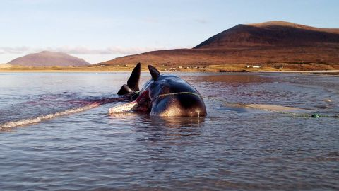 The young male sperm whale became stranded on the Isle of Harris in Scotland's Outer Hebrides.