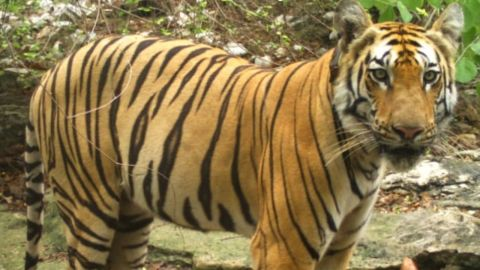 The tiger, known as T1-C1, was tracked on an epic 800-mile journey.