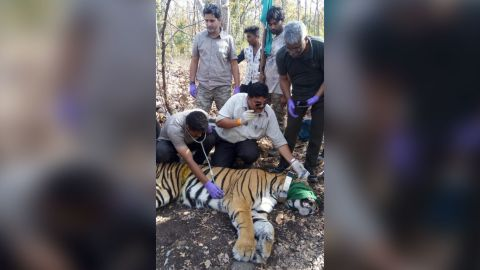 A satellite radio collar was placed on the tiger as part of a study to monitor dispersal patterns.