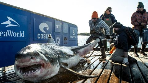 Ironbound the shark during an OCEARCH research expedition