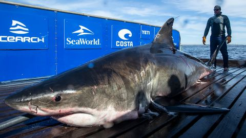 Unama'ki is a mature adult female shark. She's just one massive great white spotted in recent days.