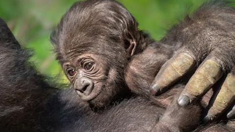 los angeles zoo baby gorilla