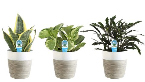 Costa Farms Clean Air 3-Pack O2 for You Live House Plant Collection