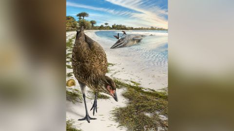 This is an artist's illustration of the world's oldest modern bird, Asteriornis maastrichtensis, in its original environment. Parts of Belgium were covered by a shallow sea, and conditions were similar to modern tropical beaches like The Bahamas 66.7 million years ago.