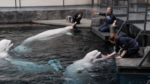 The animal care team feed and work on enrichment activities with the belugas at the Georgia Aquarium.