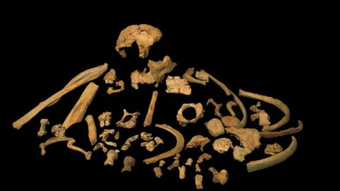 The skeletal remains of Homo antecessor are on display in this image. A recent study suggests antecessor is a sister lineage to Homo erectus, a common ancestor of modern humans, Neanderthals and Denisovans.