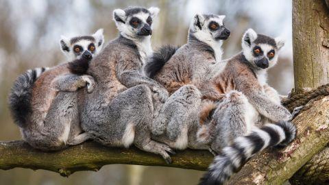 Look at animals like lemurs.