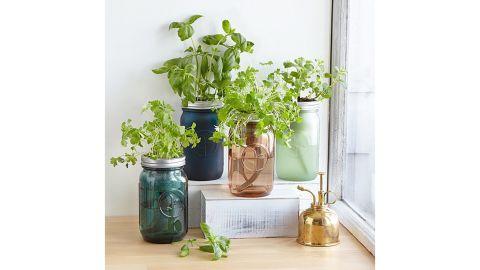 Mason Jar Indoor Cilantro Herb Garden