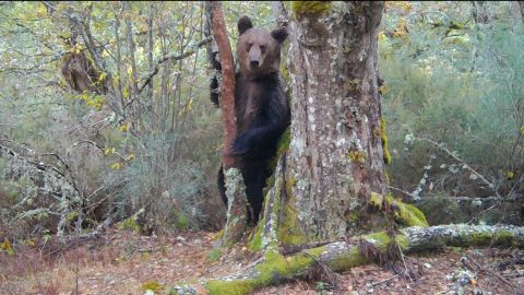 First brown bear in 150 years seen in northern Spanish park