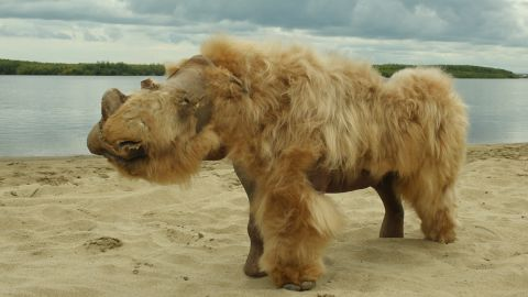 Meet Sasha, the preserved and reconstructed remains of a baby woolly rhinoceros named that was discovered in Siberia.