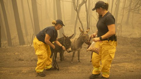 North Valley Disaster Group member Kari Zeitler and Butte County Animal Control officer Linda Newman bridle up two donkeys wandering along a roadside in Berry Creek, California, on September 11. The donkeys were displaced by the Bear Fire.