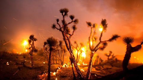 Wind whips embers from Joshua trees burned by the Bobcat Fire in Juniper Hills on September 18.
