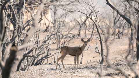 A deer looks for food in an area burned by the Bobcat Fire in Pearblossom, California.