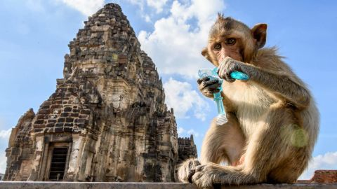 This picture taken on June 20, 2020 shows a longtail macaque drinking juice in front of the Prang Sam Yod Buddhist temple in the town of Lopburi, some 155km north of Bangkok. - Lopburi's monkey population, which is the town's main tourist attraction, doubled to 6,000 in the last three years, forcing authorities to start a sterilisation campaign. (Photo by Mladen ANTONOV / AFP) (Photo by MLADEN ANTONOV/AFP via Getty Images)