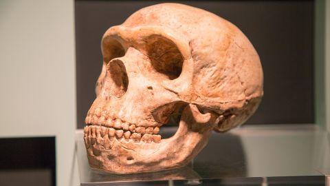 Skull of Homo Neanderthalensis, archaeology museum, Jerez de la Frontera, Cadiz Province, Spain.\