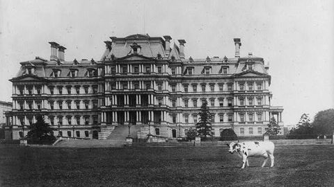 Pauline, one of William Howard Taft's pet cows, stands on the lawn of the State, War and Navy Building in Washington. Pauline also was known to graze on the White House lawn.