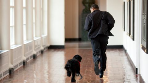 Barack Obama runs down a corridor with Bo, a Portuguese water dog, after the first family adopted him in 2009. The Obamas later adopted another one named Sunny. The breed was chosen because of Malia Obama's allergies. The coats of Portuguese water dogs are hypoallergenic.