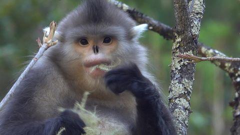 Yunnan golden monkey