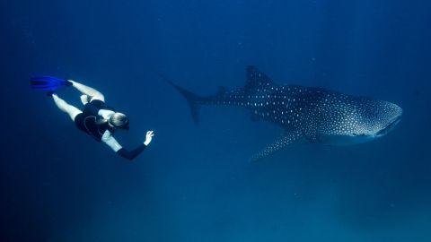Members of the public, scientists and whale shark tour operators have contributed over 70,000 images of whale sharks to the Wildbook for Whale Sharks, an online photo identification system designed to track the animals using the patterns on their skin.