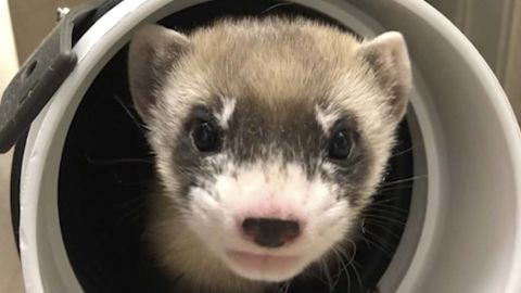 In this photo provided by the U.S. Fish and Wildlife Service is Elizabeth Ann, the first cloned black-footed ferret and first-ever cloned US endangered species, at 50-days old on Jan. 29, 2021. Scientists hope the slinky predator named Elizabeth Ann and her descendants will improve the genetic diversity of a species once thought extinct but bred in captivity and reintroduced successfully to the wild. (U.S. Fish and Wildlife Service via AP)