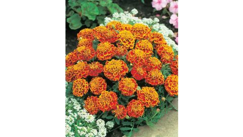 Marigolds, French or African