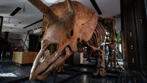 """This picture taken in Paris on August 31, 2021 shows a triceratops exposed ahead of its auction sale at Drouot auction house in October. - """"Big John"""", the largest known triceratops, over 66 million years old and with an 8-metre long skeleton, is on display in Paris until 20 October, before an auction the following day at Hotel Drouot. (Photo by Christophe ARCHAMBAULT / AFP) (Photo by CHRISTOPHE ARCHAMBAULT/AFP via Getty Images)"""